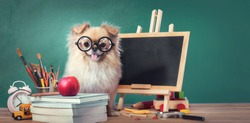 Education, Back to School concept with Cute puppies Pomeranian Mixed breed Pekingese dog.