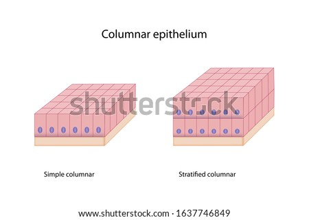Education chart of columnar epithelium shows tall shape, size of cell, round nucleus, basement membrane, simple and stratified layers isolated on white background. Foto d'archivio ©