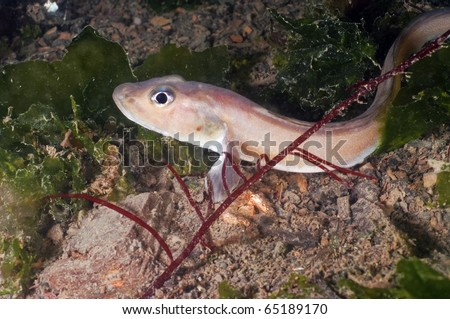 Eel pouts are a small eel like fish that dwell on the ocean floor
