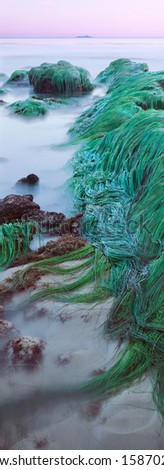 Eelgrass exposed during an extreme low tide in Santa Barbara, California.