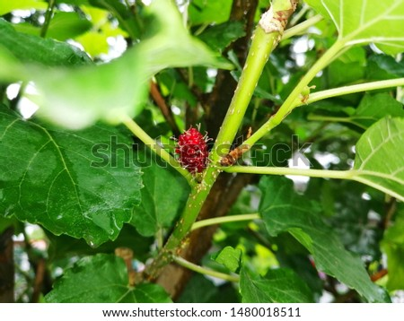 Effect of Mulberry Balls Has a sweet and sour taste