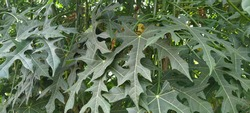efficacious leaves for fever pain