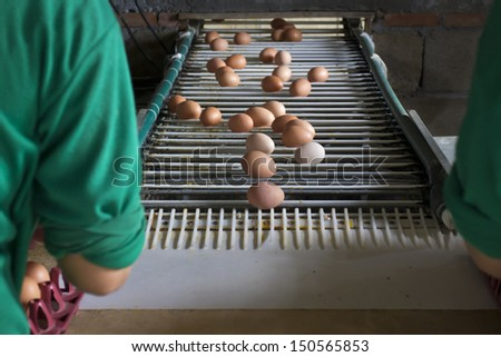 Egg chicken industrial  ,packaging lines in farm