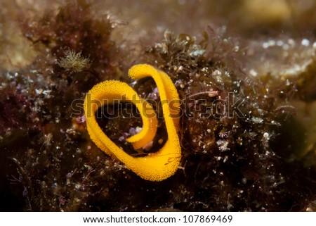 egg of sea slug