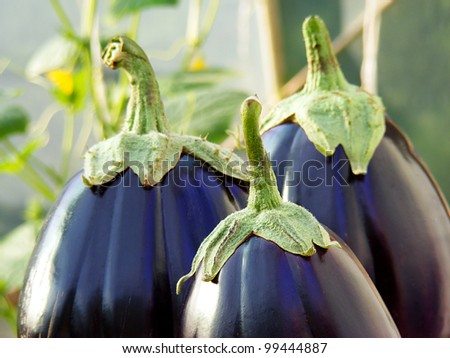 Eggplants on a wooden table. Selective focus.