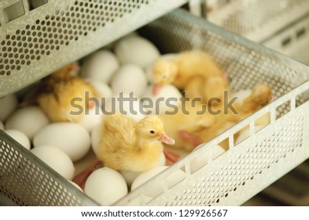 Eggs and chicken in the drawer