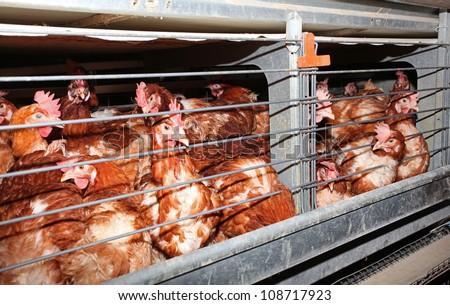 Eggs chicken farm - interior