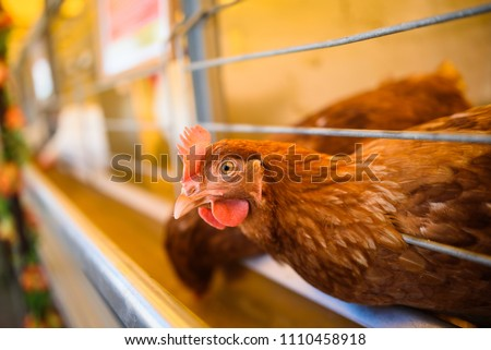 Eggs Chickens ,hens in cages industrial farm