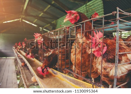 Eggs Chickens ,hens in Livestock cages industrial farm #1130095364