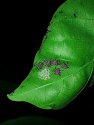 Eggs of marmorated stink bugs . (Female stink bugs lay eggs on the underside of plant leaves. The stink bug eggs are barrel-shaped and resemble small pistachio nuts. The eggs vary in color depending .