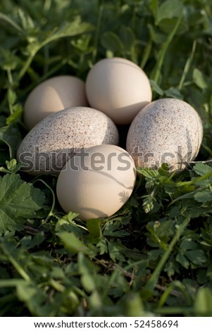 Eggs. Turkey and chicken eggs in the grass at farm