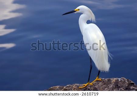 egret focus on scanning a harbor for food