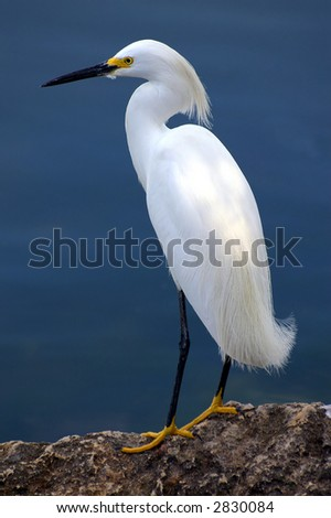 egret focus on scanning a harbor for food