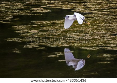 Egret looking for fish at a lake . #483351436