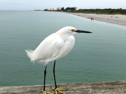 Egret on the handrail of a pier in Naples, Florida