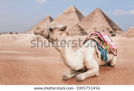 Egyptian camel with a saddle on the background of the Egyptian pyramids