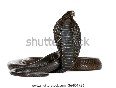 Egyptian Cobra, Naja Haje, against white background, studio shot
