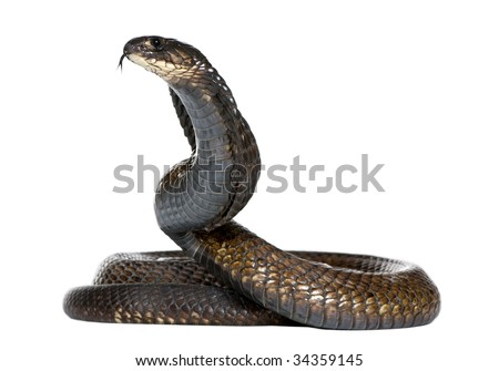 Egyptian cobra - Naja haje in front of a white background