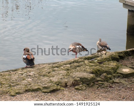 Egyptian geese standing on edge of harbor at Oulton Broad, Norfolk Broads, East Anglia UK
