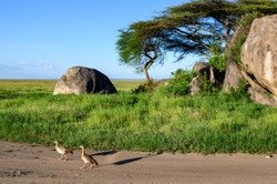 Egyptian geese walking down a dirt road by a Kopje with trees and shrubs in a savanna landscape, Nomiri Plains, Serengeti National Park, Tanzania