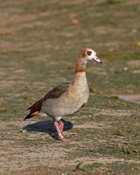 Egyptian Goose (Alopochen aegyptiaca) bird