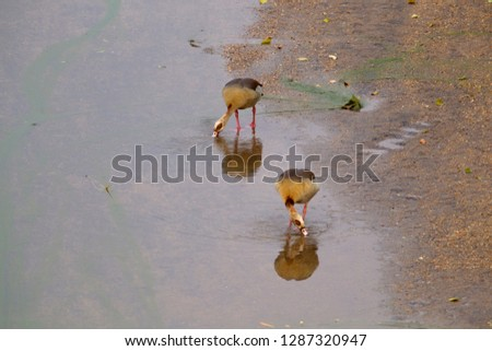 Egyptian Goose (Alopochen aegyptiaca), in the river, Olifants River, Kruger National Park, South Africa.
