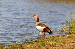 Egyptian goose (Alopochen aegyptiaca),  in the water, Kruger National Park, South Africa.
