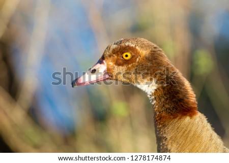 Egyptian Goose (Alopochen aegyptiaca), Sunset Dam, Kruger National Park, South Africa.