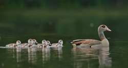 Egyptian goose (Alopochen aegyptiaca) with six young floats in the water.