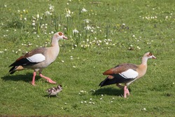 Egyptian Goose (Alopochen aegyptiacus), pair with chicks on the lawn, Hesse, Germany