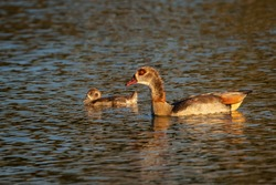 Egyptian goose. Birds in its natural environment.