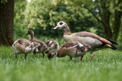 Egyptian goose family with many cute goslings (Alopochen aegyptiaca) eating grass in the meadow. Young chicks protected by mother goose in spring nature. Rastatt, Germany