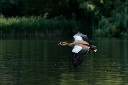 Egyptian goose in flight over the boating pond in regents park london