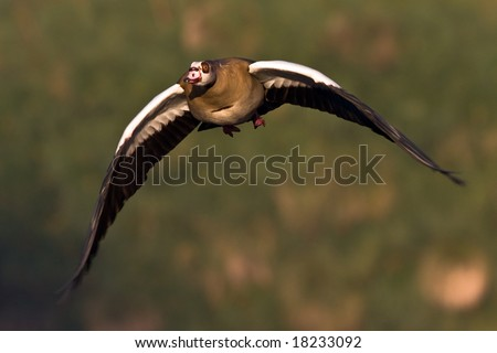 Egyptian Goose in flight with downturned wings