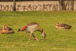 Egyptian goose on green grass during the day in sunshine. Goose with brown feathers on the body and reddish on the tail. sitting birds in the background