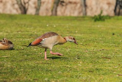 Egyptian goose water bird on green grass during the day in sunshine. Goose with brown feathers on the body and reddish green on the tail.