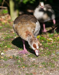 Egyptian goose with its beak touching the ground looking for food.