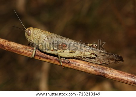 Egyptian locust on a close up horizontal picture in its natural habitat. A large insect species occurring in Greece, Southern Europe.
