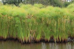 Egyptian papyrus  , Kirstenbosch National botanical garden, South africa