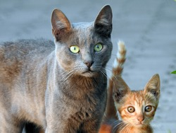Egyptian stray street domestic cats curiously looking at something, surprised gray cat and beige kitten in the street gazing at something, selective focus of 2 lovely cats portrait
