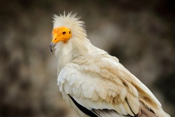 Egyptian vulture close-up detail,  big bird of prey sitting on the stone in nature habitat, Turkey. White vulture with yellow bill.