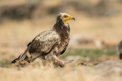 Egyptian Vulture / Neophron percnopterus