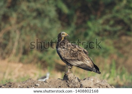 Egyptian vulture (Neophron percnopterus).The neck feathers are long and form a hackle. The legs are pink in adults and grey in juveniles.The bill is slender and long. Stock fotó ©