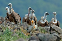 Egyptian vulture with group of Griffon Vultures, big birds of prey sitting on rocky mountain, nature habitat, Madzarovo, Bulgaria, Rhodopes. Wildlife scene from nature.