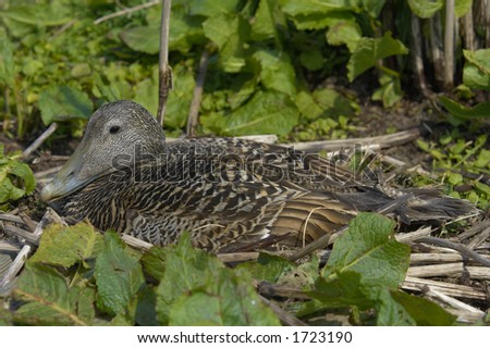 Eider duck at nest, Somateria mollissima, early May, Farne Islands, UK.