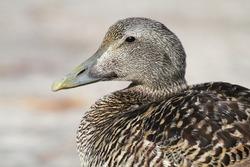 eider seabird northern europe