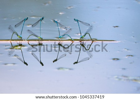 Eight azure damselflies at oviposition #1045337419