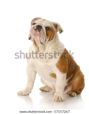eight month old english bulldog puppy sitting with reflection on white background