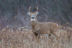 Eight point whitetail deer buck in a field.