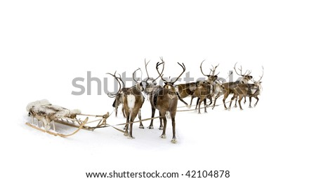Eight reindeers stand to harnesses in winter.